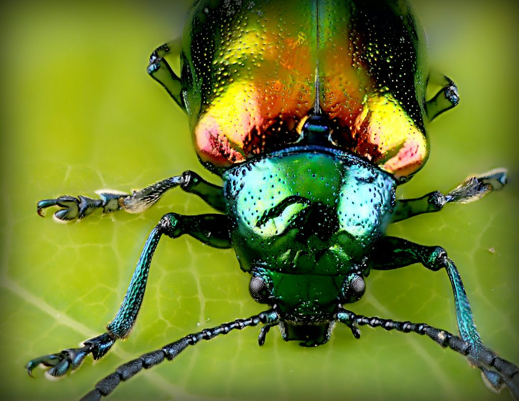 טוטם חיפושית