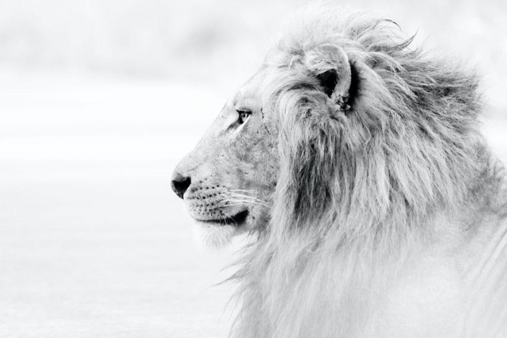טוטם אריה