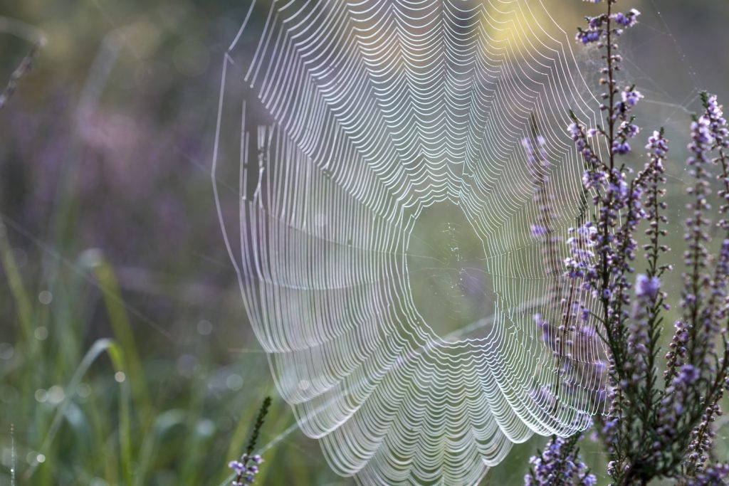 טוטם עכביש רשת